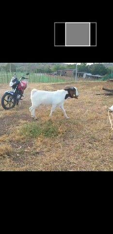 Cabras boê 81- * zap - Foto 4
