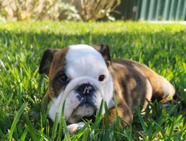 Bulldog inglês pirata/tigrado/fulvo/branco