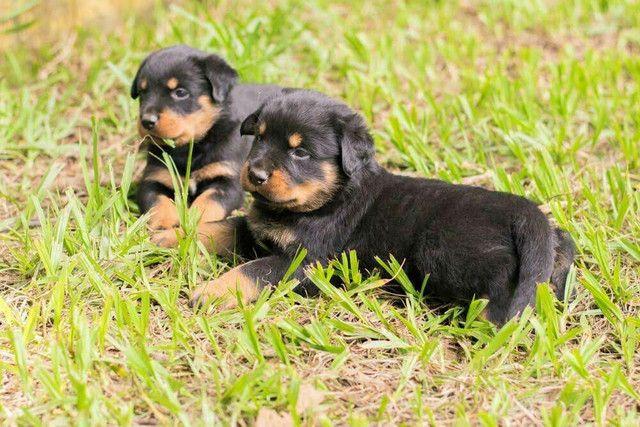 Filhotes de rottweiler - Foto 3
