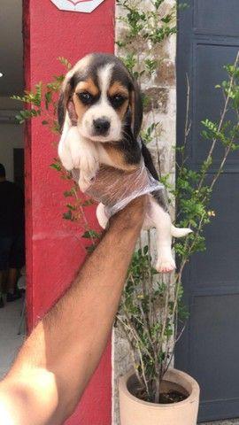 Beagle, compre com a maior rede de são paulo!!! - Foto 3