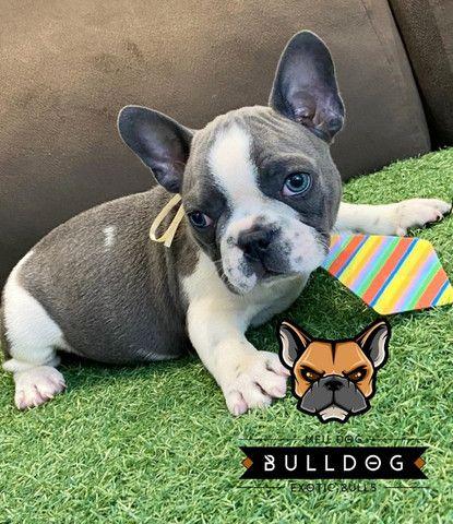 Bulldog frances cinza macho - Foto 5