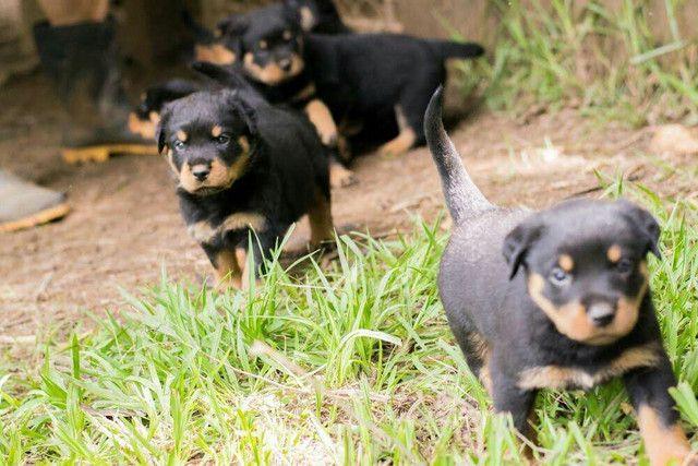Filhotes de rottweiler - Foto 5