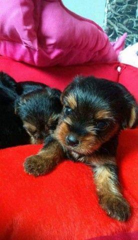 Pronta Entrega de Yorkshire Terrier Fêmea - Foto 5