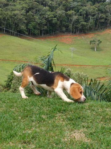 Filhotes beagle inglês Barra RJ - Foto 2