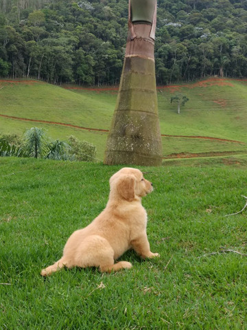 Golden Retriever Barra RJ - Foto 4