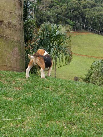 Filhotes beagle inglês Barra RJ