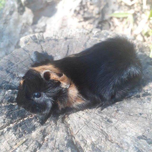 Porquinho da india Peruano macho  - Foto 2