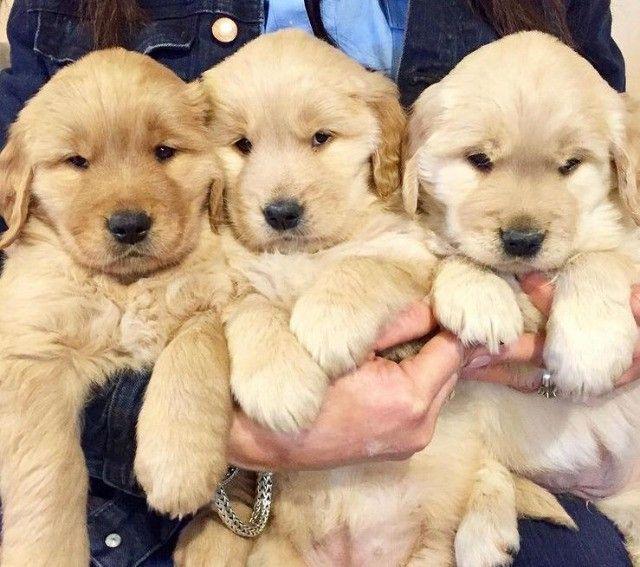 Filhotes de Golden Retriever prontos a entrega - Foto 3