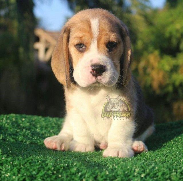 BeagleFêmea - Foto 3