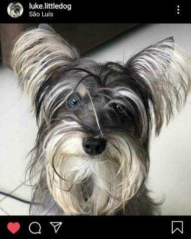 Procuro Namorada - Cachorro para Cruzar