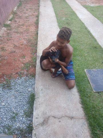 Rottweiler cachorro venda  - Foto 3