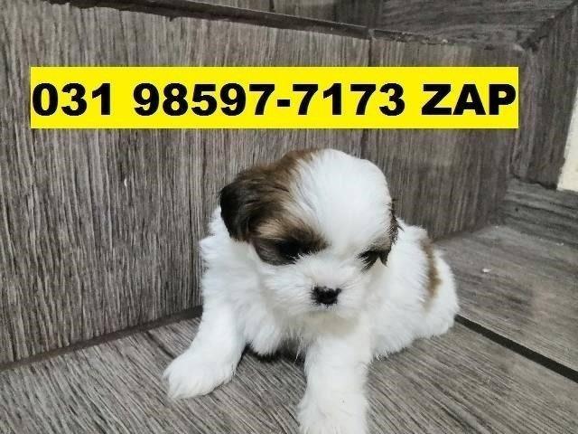 Canil Filhotes Cães BH Lhasa Basset Poodle Maltês Shihtzu Bulldog Pug Yorkshire