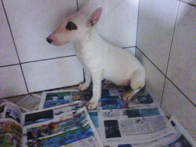 Bull Terrier femea,4 meses,3 vacinas,desverminadas,parcelo até 12 x - Foto 3