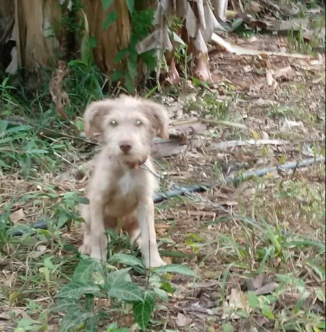 Doação desse poodle mestiço - Foto 4