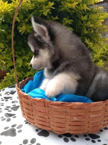 Husky wooly para exigentes! - Foto 3