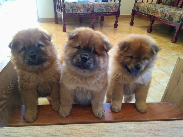 Cachorros Chow Chow - Foto 3