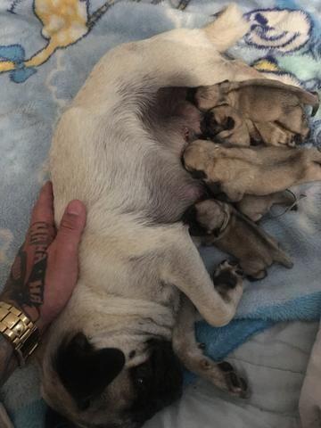Filhotes de pug - Foto 3