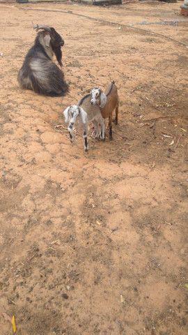 Cabra cabrito bode - Foto 4