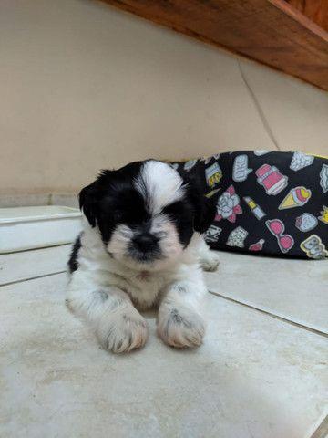 Cachorro Shih tzu puro filhote  - Foto 2