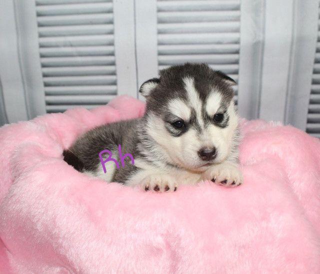 Magníficos filhotes de Husky Siberiano Disponível para Reserva  - Foto 2