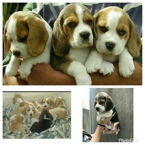 Beagle Filhotes Orelhudos 13 polegadas vacinados Pedigree cartão 5x