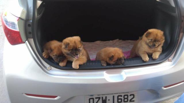 Cachorros Chow Chow - Foto 6