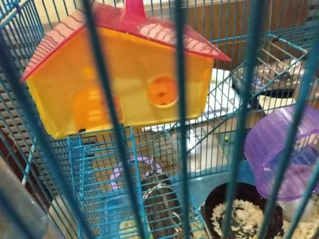 Vendo hamster com gaiola e tudo 120 R$ entrego - Foto 4