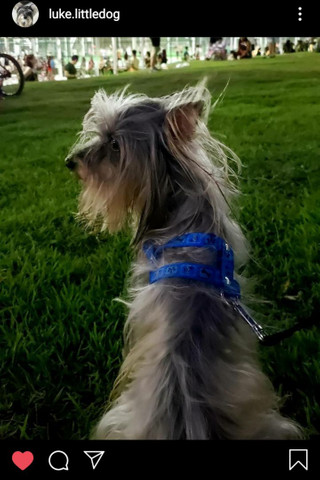 Procuro Namorada - Cachorro para Cruzar - Foto 2