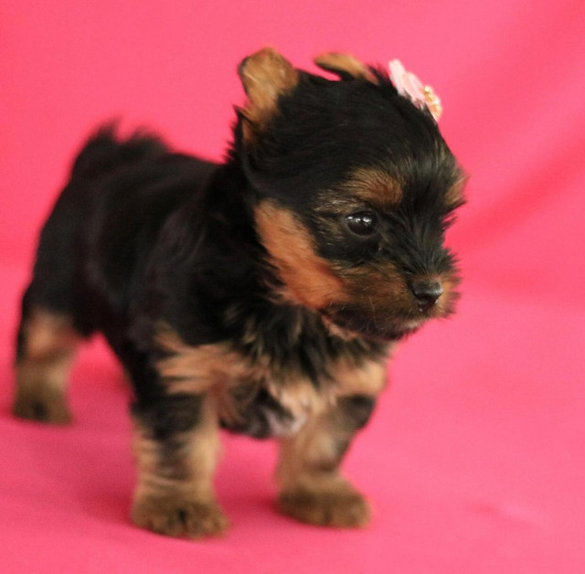 Fêmea De yorkshire Terrier Linda  - Foto 2