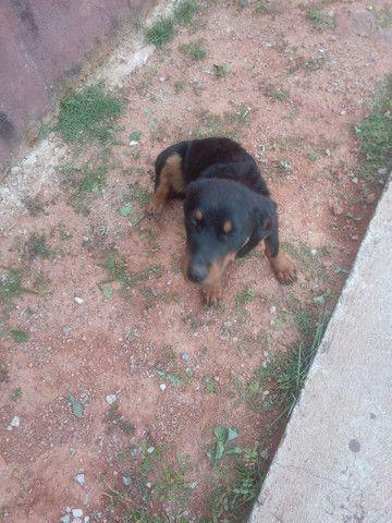 Rottweiler cachorro venda  - Foto 2