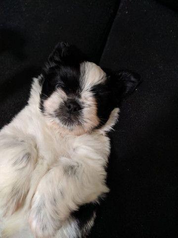 Cachorro Shih tzu puro filhote  - Foto 3