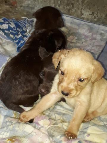 Labradores puro só * - Foto 2