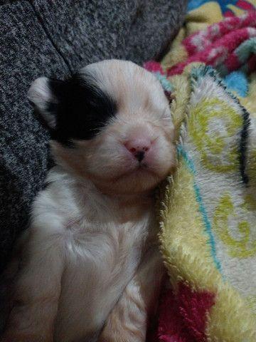 Lhasa Apso filhote - Foto 5