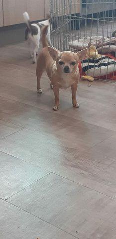 Chihuahua Fêmea Pelo Longo - Foto 6