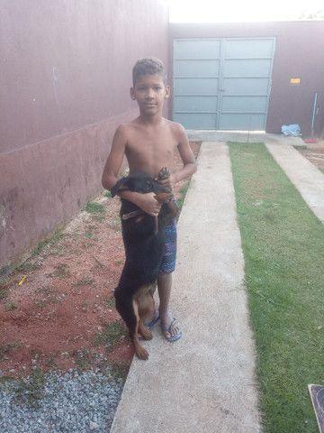 Rottweiler cachorro venda