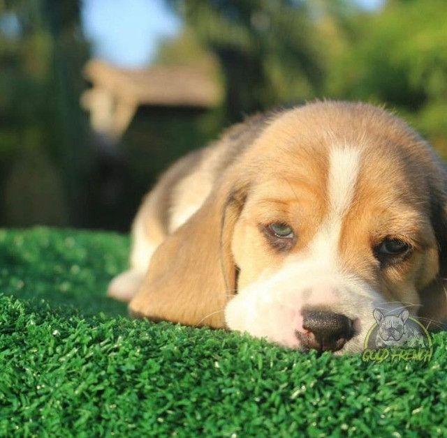 BeagleFêmea - Foto 2