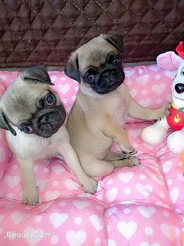 Filhotes de Pug e ShihTzu - Foto 5