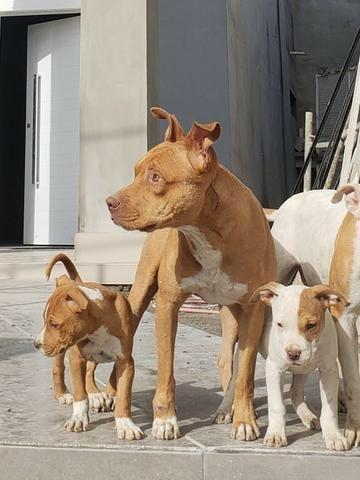 pit bul red disponível cachorros santo antônio osasco