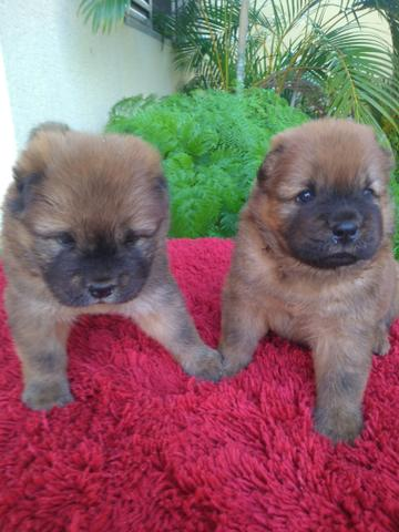 Cachorros Chow Chow - Foto 2