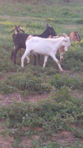 Cabra cabrito bode - Foto 2