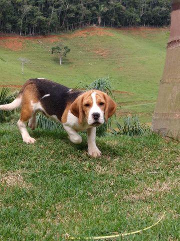 Filhotes beagle inglês Barra RJ - Foto 3