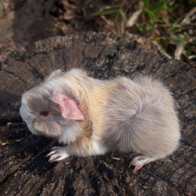 Porquinho da india Peruano macho