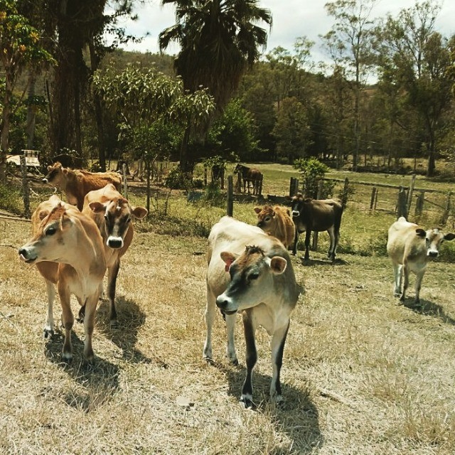 Gado Jersey - Fazenda Guanabara