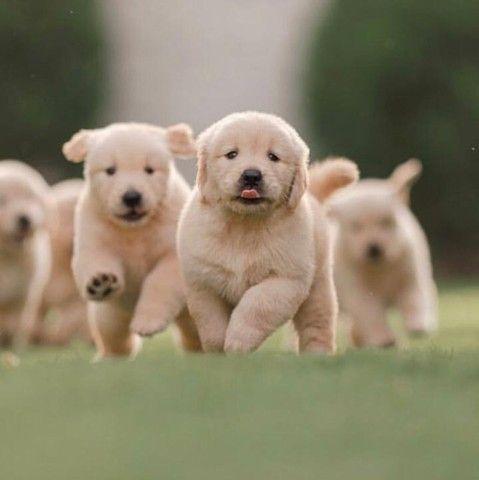 Belíssimos Filhotes de Golden Retriever - Foto 3