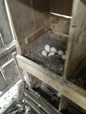 Patos adultos - Foto 4