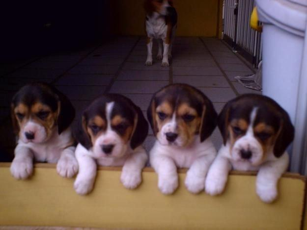 Beagle Pequenos