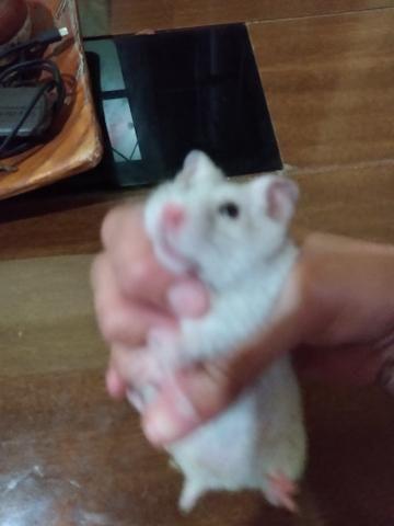 Vendo hamster com gaiola e tudo 120 R$ entrego - Foto 3