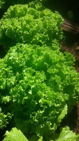 Verduras direto da Horta alface, Almeirao, Couve,salsinha cebolinha orgânicas - Foto 3