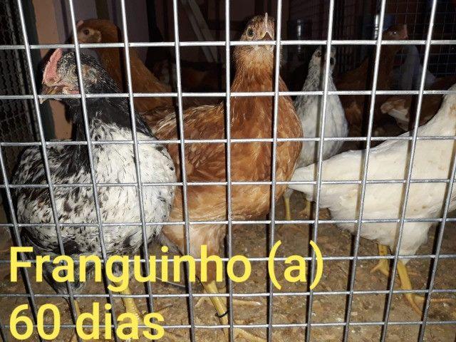 Embrapa- Ovos Galados e Pintinhos - Foto 6