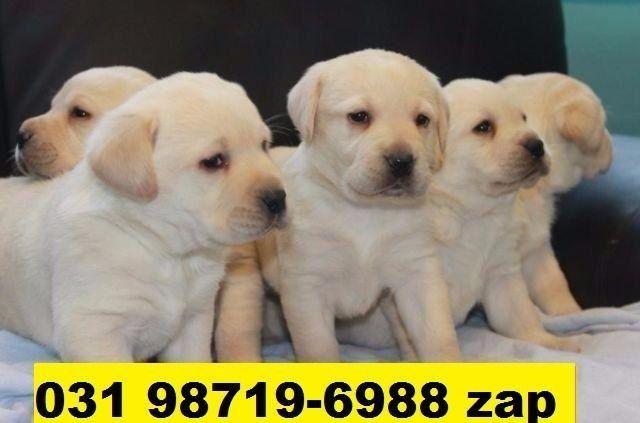 Canil Premium Cães Filhotes BH Labrador Pastor Akita Boxer Rottweiler Golden